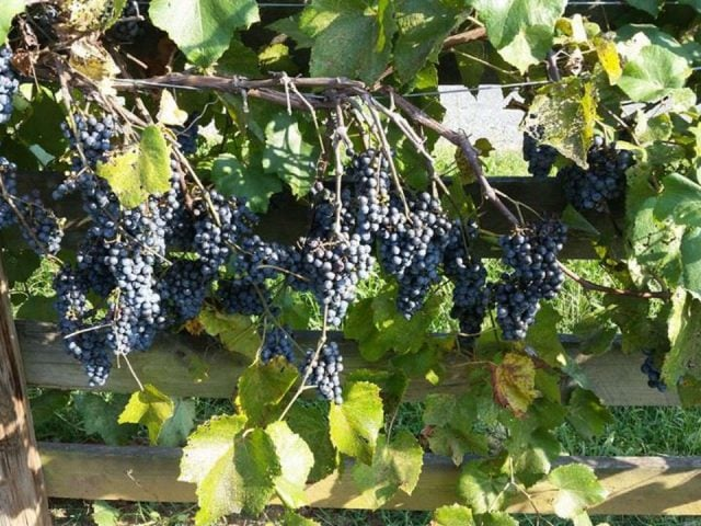 vineyards vines with bunches of blue grapes bright meadows farm vineyard and winery nathalie virginia united states ulocal local products local purchase local produce locavore tourist