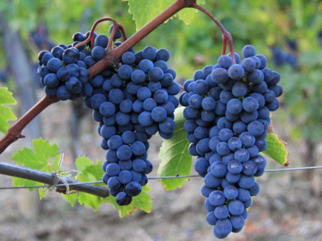 Alcohol vineyard food Le Macioche Montalcino Italy Ulocal local product local purchase
