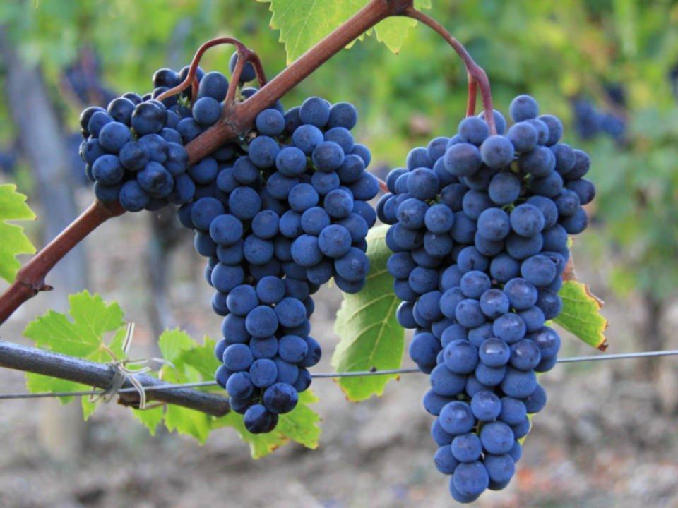 Vignoble alcool alimentation Le Macioche Montalcino Italie Ulocal produit local achat local