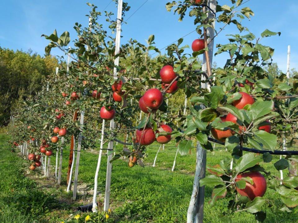 Apple picking orchard apple cider shop Verger des tourterelles Duhamel-Ouest Quebec Ulocal local product local purchase