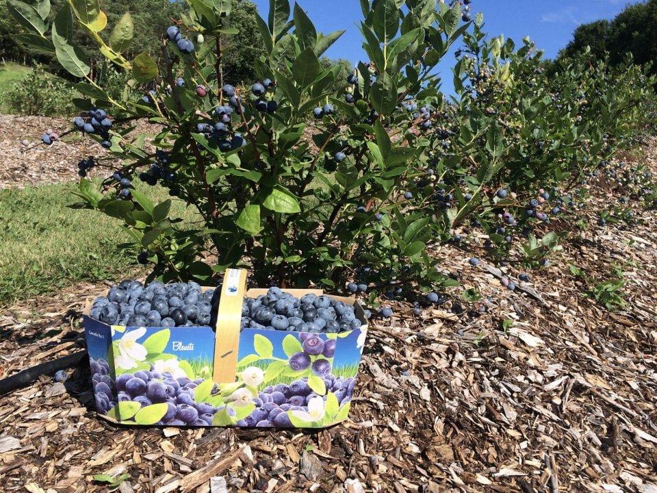 alimentation fermiers de famille autocueillette bleu sucré oka quebec ulocal produit local achat local