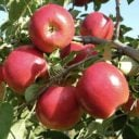 food food stores produce picking verger jude pomme sainte sophie quebec ulocal local product local purchase