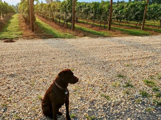 vineyards dog with vines rivah vineyards at the grove kinsale virginia united states ulocal local products local purchase local produce locavore tourist