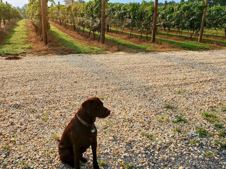 vignoble chien avec vignes rivah vineyards at the grove kinsale virginie états unis ulocal produits locaux achat local produits du terroir locavore touriste