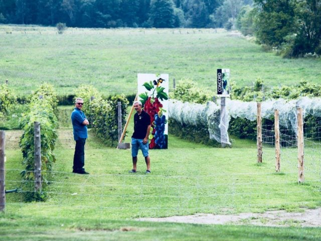 vignoble vignes avec clients autocueillette vignoble grappes et delices thurso quebec canada ulocal produits locaux achat local produits du terroir locavore touriste