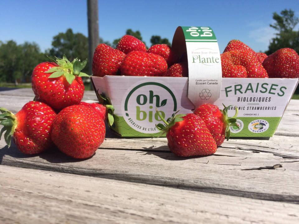 Organic picking strawberries Jean-Pierre Plante farm Saint-Laurent-de-l'Île-d'Orléans Ulocal local product local purchase