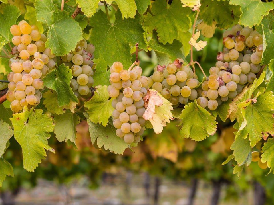vignoble raisins verts dans les vignes village winery waterford virginie états unis ulocal produits locaux achat local produits du terroir locavore touriste