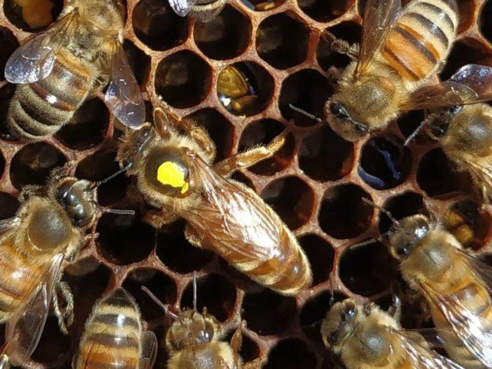 Abeille apiculteur Miel Boréal S.E.N.C. La Doré Québec Ulocal produit local achat local produits du terroir
